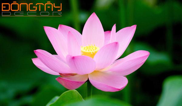 hoa sen - 5 loài cây phong thủy giúp tăng tài lộc cho gia chủ